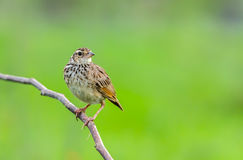 Bird on branch. Royalty Free Stock Images