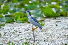 Bird on branch with lily leaf, Heron in Danube Delta Stock Photo