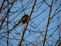 Bird on a branch Royalty Free Stock Image