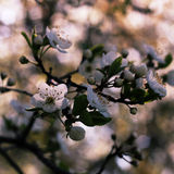 Blossom cherry flowers. White delicate flowers of cherry sakura in blossom stock images