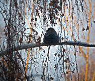 Bird on branch. Raven sitting on birch back tail Stock Image