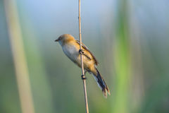 Bird on branch, reed in Danube Delta Royalty Free Stock Image