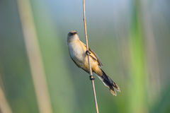 Bird on branch, reed in Danube Delta Stock Image