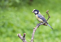 Bird on a branch. Bird sits on a branch on a background of green grass Stock Photography
