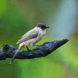 Bird on branch. Stock Photography