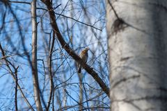 Bird on a branch in spring, spring comes, buds bloom with the arrival of birds royalty free stock photography