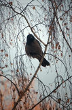 Bird on a branch. Thick raven on a branch of a birch Stock Photo