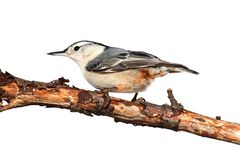 Bird On A Branch on White Royalty Free Stock Images