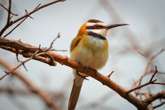 Bird on a branch - White-throated bee eater Stock Image