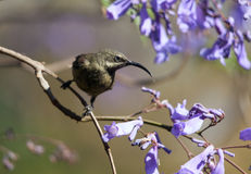 A bird in the branches of Jacaranda Royalty Free Stock Photography