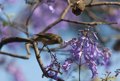 A bird in the branches of Jacaranda. Ethiopia, Addis Abaab, Decemder 14,2013.A bird in the branches of a flowering Jacaranda in Ethiopia, Addis Ababa, Churchill Stock Photography