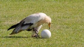 Bird breaking egg with stones stock footage