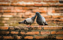 Bird and Brick. Couple pigeon with a brick background in Thailand Royalty Free Stock Photo