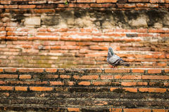 Bird and Brick. Couple pigeon with a brick background in Thailand Royalty Free Stock Image