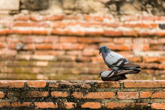 Bird and Brick. Couple pigeon massaging each other with a brick background in Thailand Stock Photos