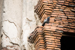 Bird and brick. Pigeon hanging on the brick ruins wall Stock Images