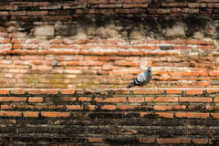 Bird and Brick. Rock pigeon with a brick background in Thailand Stock Image