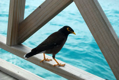 Bird on the bridge with seaview. Bird on the wooden bridge with ocean on the background, Maldives Royalty Free Stock Photos