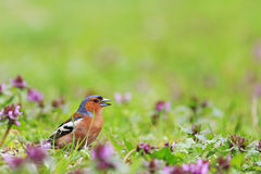 Bird of bright spring flowers. Finch among the spring flowers, spring singing birds, green grass, wildlife Royalty Free Stock Photo