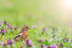 Bird of bright spring flowers with sunny hotspot. Finch among the spring flowers, spring singing birds, green grass, wildlife with sunny hotspot Stock Photo