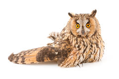 A bird with a broken wing. (long-eared owl, Asio otus Stock Image