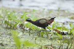 Bird (Bronze-winged Jacana) walking in the pond Stock Images
