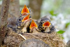 Bird brood in nest on blooming tree, baby birds, nesting with wide open orange beaks waiting for feeding.  stock image
