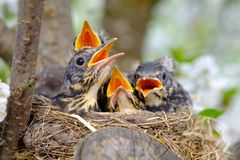Bird brood in nest on blooming tree, baby birds, nesting with wide open orange beaks waiting for feeding.  stock images