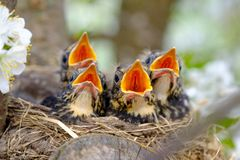 Bird brood in nest on blooming tree, baby birds, nesting with wide open orange beaks waiting for feeding.  royalty free stock photos