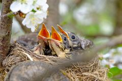 Bird brood in nest on blooming tree, baby birds, nesting with wide open orange beaks waiting for feeding.  stock photo