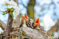 Bird brood in nest on blooming tree, baby birds, nesting with wide open orange beaks waiting for feeding.  royalty free stock photo
