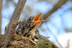 Bird brood in nest on blooming tree, baby birds, nesting with wide open orange beaks waiting for feeding.  royalty free stock images