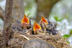 Bird brood in nest on blooming tree, baby birds, nesting with wide open orange beaks waiting for feeding.  stock photography