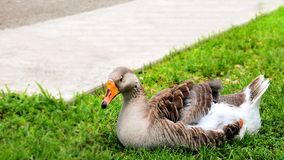 Bird, brown Greylag or Graylag goose Royalty Free Stock Images