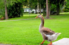 Bird, brown Greylag or Graylag goose walking Royalty Free Stock Photography
