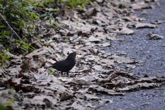 Bird among the brown leaves. Black bird among the brown leaves Royalty Free Stock Images