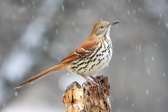 Bird - Brown Thrasher in Snow. Bird - Brown Thrasher (Toxostoma rufum) on a stump in a snow storm Royalty Free Stock Photo