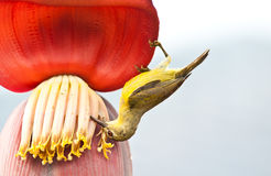 Bird  on the banana flower Royalty Free Stock Photography