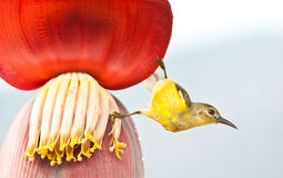 Bird  on the banana flower Royalty Free Stock Image