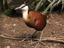 Multicolored bird Actophilornis africanus. Brown bird with white neck and with a large beak Royalty Free Stock Image