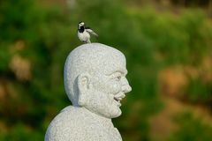 Bird and Buddha. A White Wagtail stands on head of monk statue. Scientific name: Motacilla alba Royalty Free Stock Photos