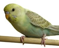 Bird - Budgeriegar stock photos