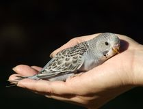 Bird - Budgeriegar baby Royalty Free Stock Photography