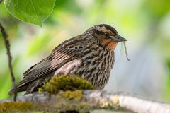 Bird with a bug in its beak royalty free stock photo