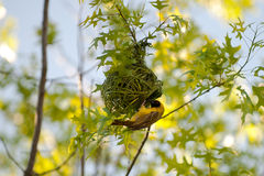 Bird building nest. A goldfinch building a nest in tree branches.  Species:  Carduelis tristis Royalty Free Stock Photos