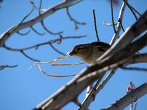 Bird Building Nest. A bird with a piece of grass building a nest Royalty Free Stock Images