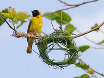 Bird building nest. Southern masked weaver male bird building a nest Stock Photos