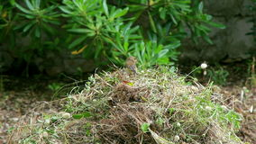 Bird building nest stock video