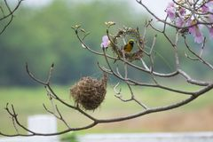 The bird is building nest. Bird on tree, The bird is building nest Royalty Free Stock Photo