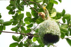 Bird builds home. The bird is making a nest called home. It has to be patient to carry a piece of plants and collect them to be the house for the birds family Stock Photos